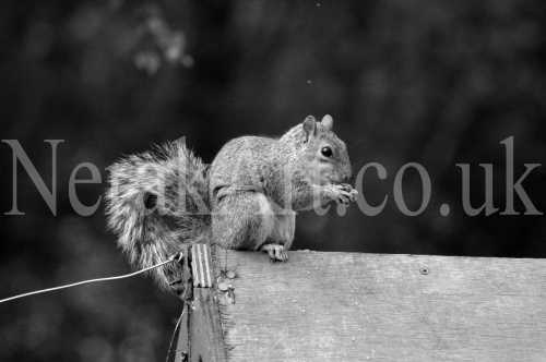 Squirrel On Bird Table